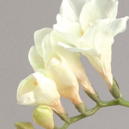 hvide fresia